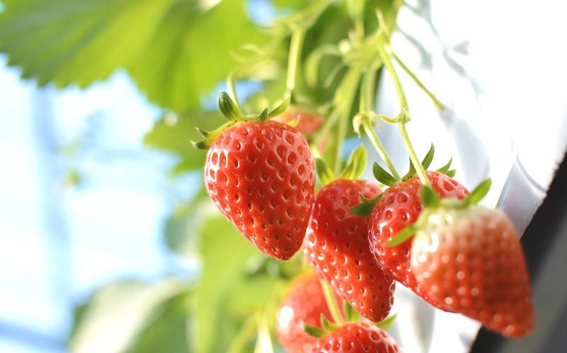 沖縄でイチゴ狩り!県内最大規模のイチゴハウス『美らイチゴ』
